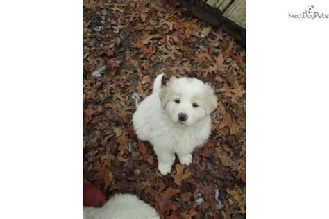 maremma sheepdog puppies for sale maremma sheepdog for sale for 700 near central nj new jersey 687d7632 e051