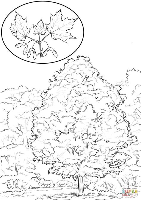 coloring page of maple tree sugar maple coloring page free printable coloring pages
