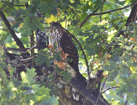 Garden Hawk by Cooper Hawk Sighting Makes For A Garden The Of
