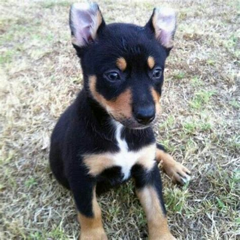 kelpie puppy 17 best images about kelpie on sheep dogs cattle and australian sheep dogs