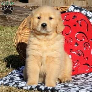 golden retriever puppies east golden retriever puppies for sale greenfield puppies