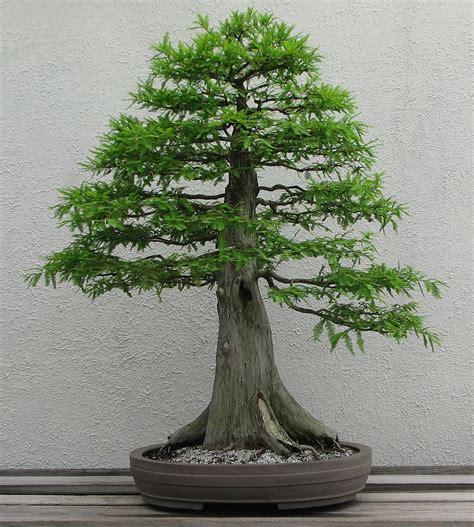 bonzi tree metasequoia glyptostroboides dawn redwood for sale