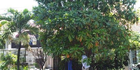 bintaro pohon beracun  dijadikan tanaman hijau
