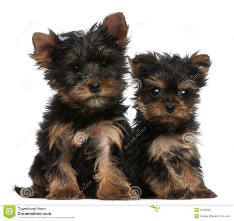 8 week yorkie puppy terrier puppies 8 weeks royalty free stock photography image 21996307