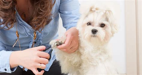 cesar cut for dogs nail clipping tips cesar s way