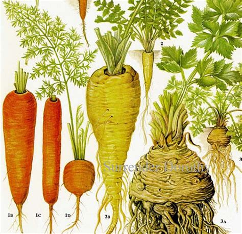 carrot parsnip celeriac chart root vegetable food botanical - Is A Carrot A Root Vegetable