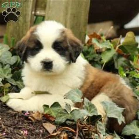 st bernard puppies for sale in pa bernard puppies for sale in de md ny nj philly dc and baltimore