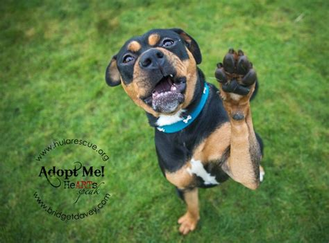 rottweiler cross bulldog honey 16 month rottweiler cross american bulldog for adoption