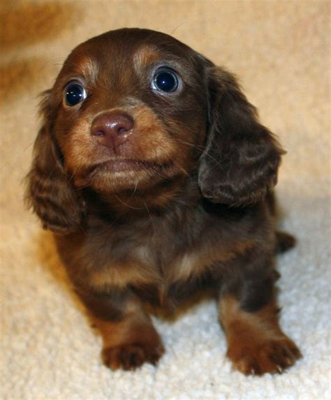 weiner puppy 25 best ideas about dachshund puppies on baby dachshund dachshund and