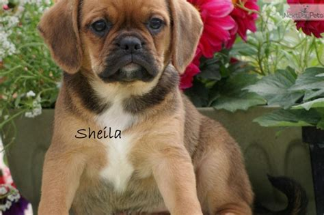 puggle puppies for sale mn best 25 puggle puppies for sale ideas on puggles for sale puggle puppies