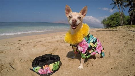 hawaiian names for dogs hawaiian shirt t shirt design database