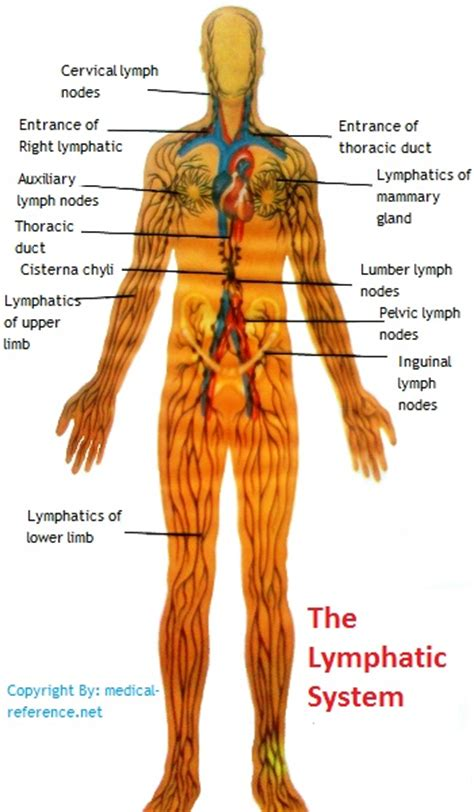 Will Chia Seeds And Honey Detox Your Lymphatic System by The 25 Best Lymph Vessels Ideas On Detox