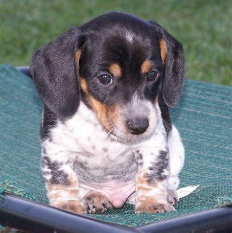 piebald dachshund puppies 10 best ideas about piebald dachshund on piebald dachshund dachshund