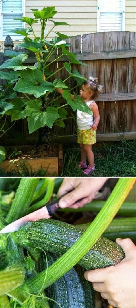 Zucchini Vertical Gardening 17 Best Garden Ideas On Gardening Gardening