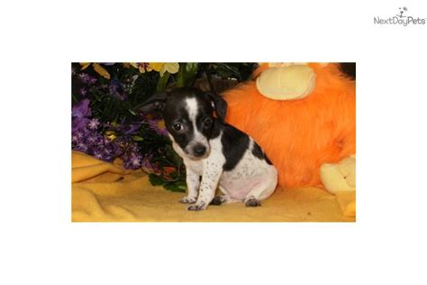 rat terrier chihuahua mix puppies for sale meet domino a rat terrier puppy for sale for 195 chicago rat terrier chihuahua mix