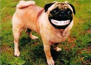 pug teeth problems pug smiling