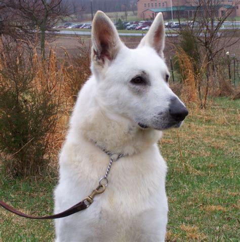 white german shepherd puppies for sale in ohio white german shepherds for sale