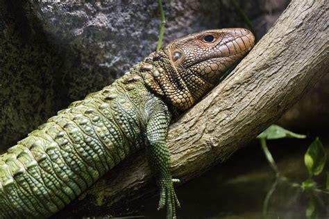 File:Caiman Lizard.jpg