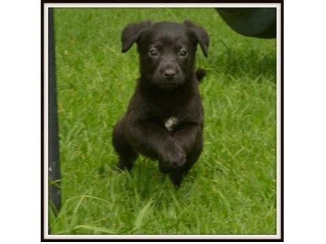 lab rottweiler puppies rottweiler x labrador puppies midrand breeds picture
