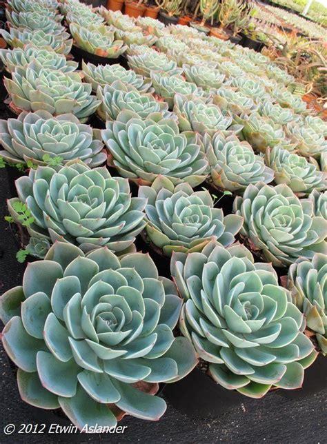 Les 25 meilleures id 233 es de la cat 233 gorie echeveria imbricata sur pinterest jardin de cactus en