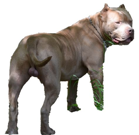 huge 100 pound xxl large male pitbulls bully xtreme xxl bully pitbulls huge male pitbulls extreme bully 100
