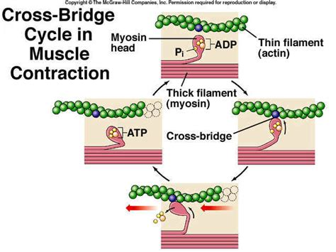 4 proteins involved in contraction return to a