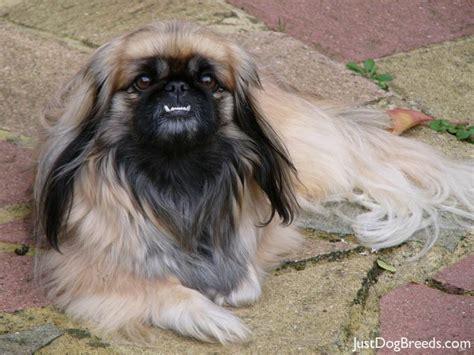 pekingese shedding breeds picture