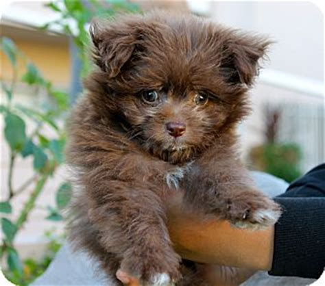 los angeles pomeranian rescue rupert adopted puppy los angeles ca pomeranian poodle miniature mix