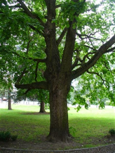 turkish pomeranian photos of turkish hazel trees corylus colurna monumentaltrees
