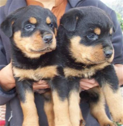 german blockhead rottweiler puppies for sale blockhead rottweiler puppies for free breeds picture