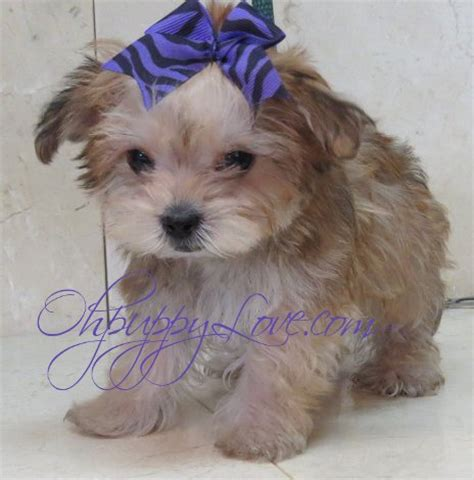 tiny dogs for sale small breeders bbt