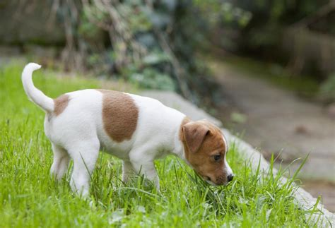 dogs peeing in house for no reason why dog urine causes brown spots on grass
