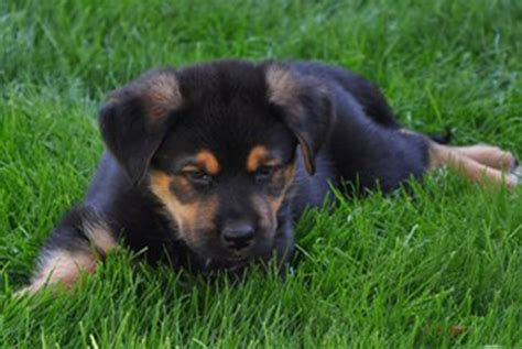 rottweiler german shepherd mix puppy cool pets 4u german shepherd pictures gallery