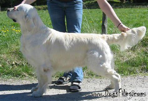 standfast golden retriever pedigree database dasty golden daffodil 187 pedigree database golden retriever