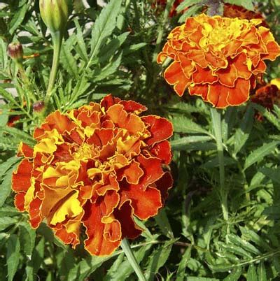 marigolds shade marigoldtagetes spp 15 fast growing flowers for a