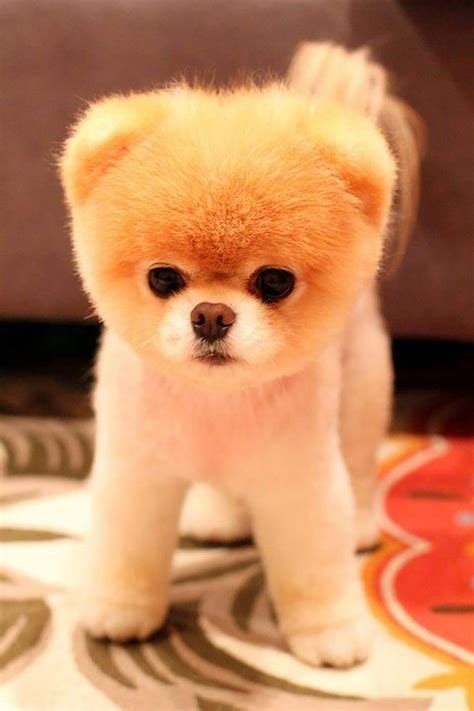 puppies that look like teddy bears 17 puppies that look like teddy bears barnorama