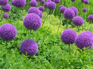 talking to plants silly allium