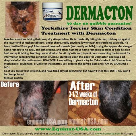 yorkie allergies treatment zeke terrier dermacton review yorkie dogs dermacton