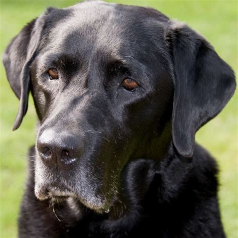 black lab dogs pets black lab labrador retriever pictures