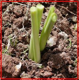 Bibit Serai cara menanam sereh yang baik dihalaman rumah