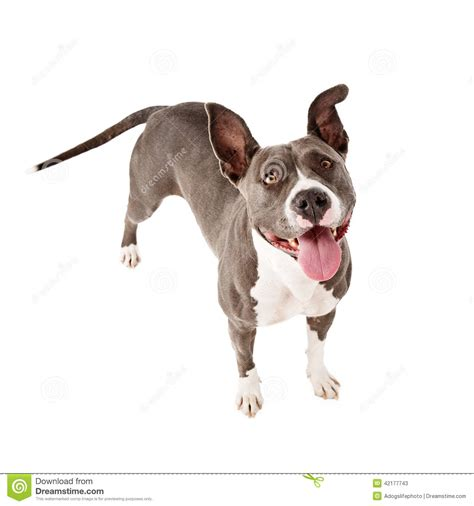 standing pit happy pit bull standing looking up stock photo image
