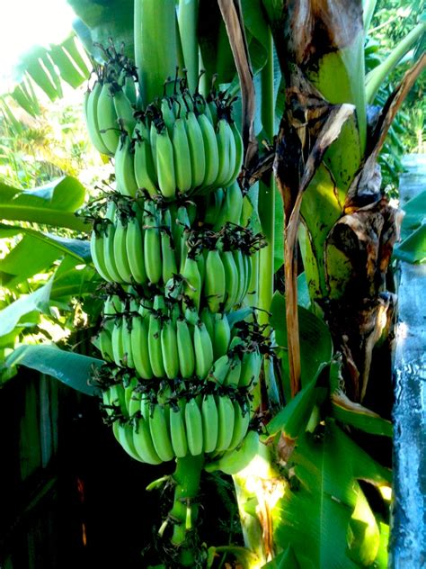 Tropical Edible Plants - the perfect time for planting tropical fruit in your south florida edible landscape ready to