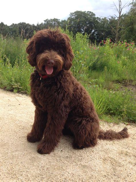australian doodle puppies for sale 25 best ideas about australian labradoodle on