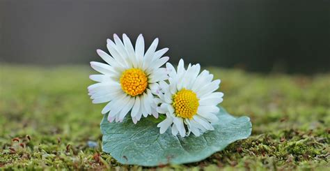 margherita fiori foto gratis margherita fiori selvatici fiori immagine