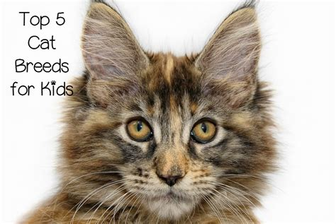 best of cat top 5 overall best cat breeds for children catvills