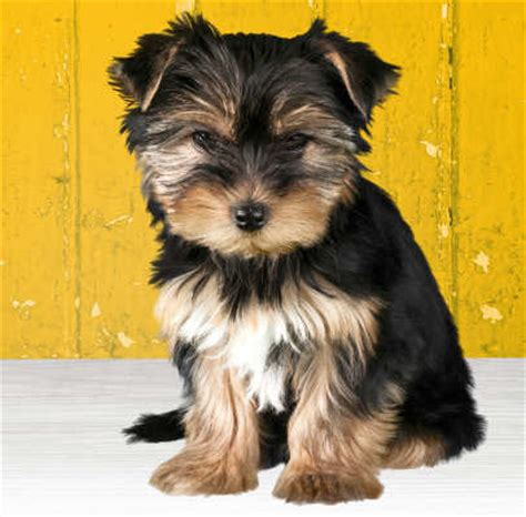 what do yorkies look like grown which breed of puppy the terrier