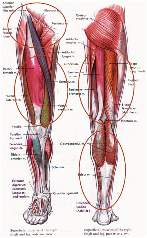human tendons diagram knee tendons anatomy human anatomy diagram