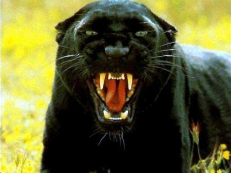 Do Jaguars Attack Humans Comments Without A Thread Animal Communicators The