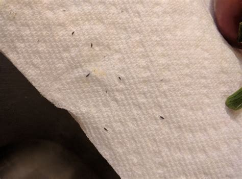 Tiny Black Bugs In Kitchen Countertop tiny bugs in kitchen ask an expert