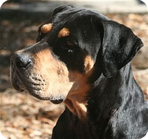 great dane rottweiler mix alachua ga rottweiler great dane mix meet ansel a for adoption